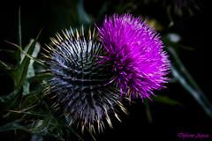 Scottish Thistle (Different Aspects) Tags: macromondays texture thistle purple wildflower flower scottish 7dwf freetheme mondays