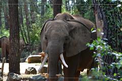 DSC_0558 (Quentin Baron37) Tags: zoo la flèche tigre pygargue manchot singe panda panthère otarie guépard girafe elephant souris spectacle oiseaux parc rhinocéros