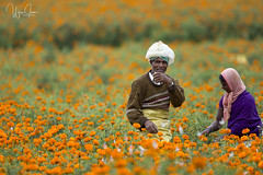 Flower Farmers (V I J U) Tags: canon5d farming people travel vijujose village ef500mmf4lisii tamilnadu flowers landscape
