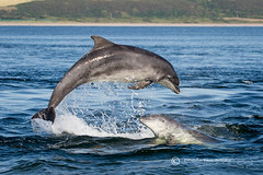 Moray Firth Dolphins (cjdolfin) Tags: alba bottlenosedolphin chanonrypoint fortrose highland morayfirth rosemarkie rossshire scotland scottish tursiopstruncatus blue breach calves cetacean cjdolfin colour dolphin jump mammal marine marinemammal nature odontocete summer wild wildlife