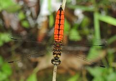 Forest Chaser (Lyriothemis elegantissima) Male (Rezamink) Tags: lyriothemiselegantissima forestchaser dragonflies odonata hongkong