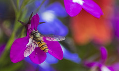 ... (UK.Photography) Tags: flower flowers canon 1300d fly bee detailed depth dof sharp