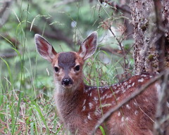 Black-Tailed Deer Fawn