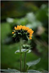 Schüchtern (E. A. Suendermann) Tags: park sonnenblume