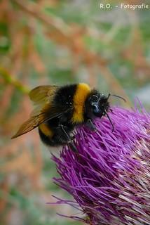 Hummel / Bumblebee