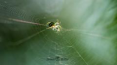 DSC_2946-2 (Franck.H Photography) Tags: macro insectes araignée coccinelle