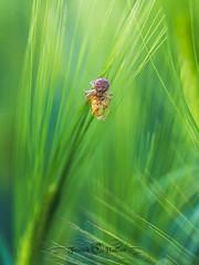 DSC_2909-2 (Franck.H Photography) Tags: macro insectes araignée coccinelle