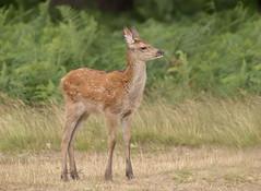 Red-Deer-Calf-9880 (Kulama) Tags: reddeer deer calf nature wildlife woods bracken fern grass land animals summer canon7dmarkii sigma150600563c