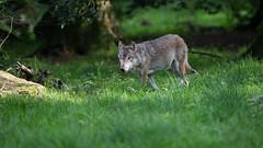 Roaming the Woods (The Wasp Factory) Tags: eurasianwolf commonwolf wolf eurasischerwolf tierparksababurg tierpark sababurg wildpark wildlifepark