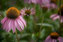 summer coneflower (Marigold Liz) Tags: purple coneflower summer shallow