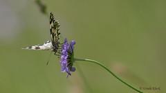 Schachbrettfalter (Melanargia galathea) (Oerliuschi) Tags: melanargiagalathea tagfalter schmetterling schachbrettfalter butterfly kaiserstuhl