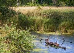 Ducks In A Row (Wes Iversen) Tags: anasplatyrhynchos burton hss michigan sliderssunday ducks grasses logs mallards marsh nature slough trees turtles water waterfowl sunrays5 formarnaturepreservearboretum