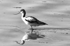 variation volantes en noir et blanc (Bernardvinc) Tags: bird action vol fly noir blanc black white light lumière minimalism nature water nikkor nikon