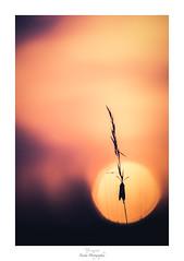Je ne suis que si le soleil y est (Naska Photographie) Tags: naska photographie photo photographe paysage proxy proxyphoto printemps papillon butterfly butterflie zygaena zygène silhouette soleil sun sunset sunlight sunrise sunshine macro macrophotographie macrophoto extérieur soir rayon chaleur color couleur bokeh flare flou ambiance minimaliste minimalisme seul lost alone landscape