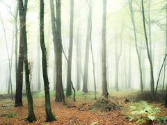 (Nikola Ostrun) Tags: forest fog foggy nature outdoor fall autumn autumncolors color orange green mist misty