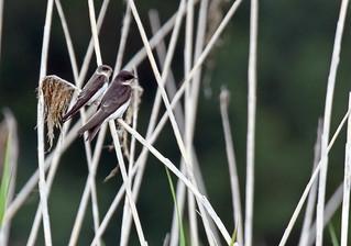 Bank Swallow - Hirondelle de rivage - Riparia riparia (D72_2372-1F-20170718)