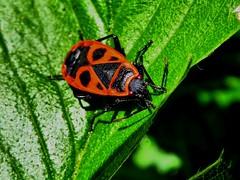 Feuerwanze beim Sonnenbad. (Wallus2010) Tags: geometrisch feuerwanze insekt nahaufnahme makro macro farbkontrast kontrast