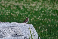 Chipping Sparrow on Gravestone (Anne Ahearne) Tags: cemetery chippingsparrow bird birds nature wildlife grave gravestone headstone