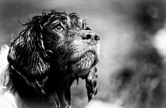 Mollie (Missy Jussy) Tags: englishspringer springerspaniel spaniel pet dog outdoor outside portrait dogportrait mono monochrome mollie molliemunch blackwhite bw blackandwhite canon canon5dmarkll 70200mm canon70200mm littledoglaughednoiret