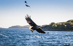 Havørn-0432 (jarud) Tags: 2017 eagle fugl havørn naturopplevelser norge norway smøla whitetailed ørn