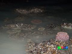 Reefs of St John's Island, July 2017 (wildsingapore) Tags: stjohns singapore marine coastal intertidal shore seashore marinelife nature wildlife underwater wildsingapore landscape