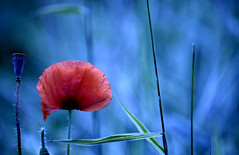 A poppy (ElaR.) Tags: nature naturecomposition coloursofnature flowers flower poppy poppies plants meadow meadowplants meadowflowers meadownooks meadowcomposition flora red redflower blue nikon outdoor outside