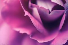 🌼 (martinap.1) Tags: rose rosa rosenblüte nikon nature nikond3300 natur nikon40mmmacro d3300 dreamy pink plant purple outdoor outside blume bokeh blüte blossom macro makro violett colourful pflanze pastel 7dwf
