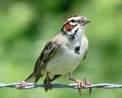 IMG_6674 (lbj.birds) Tags: kansas nature flinthills wildlife bird sparrow larksparrow