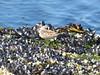 Western Sandpiper/Calidris mauri juv. (misiekmintus) Tags: westernsandpiper calidrismauri bc birds britishcolumbia birding birdwatching ptaki aves oiseaux galiano galianoisland ocean oceano seaocean shells seaweed