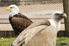 202 - enfado entre compañeros (FAZUGA) Tags: pajaros birds eagle eagles aguila ave aves buitre vulture buzzard buitreleonado pico beak yellowbeak picoamarillo angry enfado annoyance irritation zoo zoologico zoological madrid españa spain