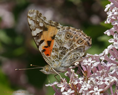 Painted Lady gathers nectar... (danielusescanon) Tags: butterfly insect bug nectar feeding flowers paintedlady
