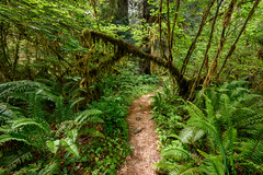 Hiking path in the Hoh Rainforest, Olympic National Park, Olympic Peninsula, Washington State (diana_robinson) Tags: hikingpath trail hohrainforest olympicnationalpark olympicpeninsula washingtonstate solitude alone noone noperson moss ferns mosscoveredtrees green