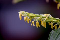 Corn futures (Pejasar) Tags: fertility vegetable macro oklahoma tulsa garden pollen corn