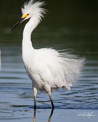 "I'm King Of The Pond! (dcstep) Tags: egret snowyegret englewood colorado unitedstates us n7a0228dxo mud cattails canon5dmkiv ef500mmf4lisii ef20xtciii allrightsreserved copyright2017davidcstephens dxoopticspro114 ""cherry creek state park"" cottonwoodcreek pond"
