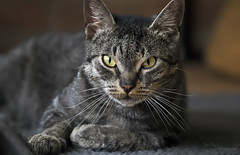 Dodie (Paula Darwinkel) Tags: cat kitten pet feline portrait animal wildlife eyes tabby