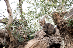 IMG_2453_ent (noreturn_279) Tags: babycat olive tree greece