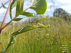 Mantis religiosa L. (Aymeric_Roccia) Tags: animal dictyoptère mantis religiosa mante religieuse