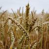 Weizen (Nilfisk) Tags: felder weizen weizenfeld getreidefelder getreide