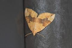 Barred Yellow (Cidaria fulvata) (macronyx) Tags: insect insects insekt insekter moth nattfjäril nature wildlife mätare fältmätare citrongulfältmätare cidaria cidariafulvata yellow barredyellow