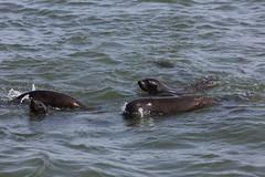 Walvis Bay seal colony (cathm2) Tags: africa namibia walvisbay seal colony wildlife boat sea cruise travel