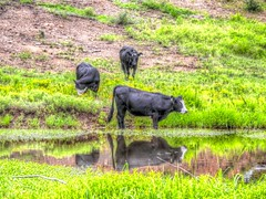 Afternoon Drink (clarkcg photography) Tags: cow cattle pasture pond drink reflection black whiteface angus green grass hillside animals sundayfauna 7dwf