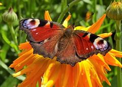 Vlinder (Omroep Zeeland) Tags: vlinders bloemen zomer