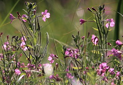 Campion Wildflower Meadow (Cal Killikelly) Tags: campion meadow wildflower summer green pink light bokeh