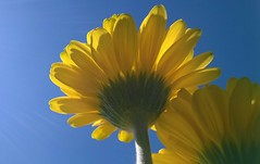 Gerbera colours have meanings... (Jo. Jo.) Tags: sky gerbera meaning cheerfulness yellow spring green blue rays sun
