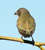 Gouldian Finch at Wyndham_3841 (Jen Crowley Photography) Tags: gouldian bird finch gouldianfinch juvenile wyndham wa westernaustralia australia nikon erythruragouldiae erythrura gouldiae