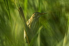 Little bittern -  Čapljica 2 (Bojan Žavcer) Tags: littlebittern čapljica ixobrychusminutus bird animal wildlife canoneos7dmarkii ef600mmf4lisusm