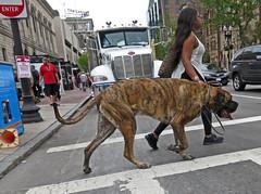 BostonCrosswithLgDog (fotosqrrl) Tags: boston massachusetts streetphotography urban copleysquare backbay boylstonstreet crosswalk intersection dartmouthstreet dog