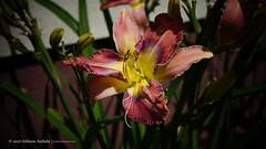 DSC00657 (Aldona Induła) Tags: sony a6000 bezedycji flower garden kwiat notedited ogród prostozaparatu straightfromthecamera