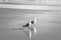 No Particular Place to Go (Bud in Wells, Maine) Tags: gulls wellsbeach wells maine bw monochrome niksoftware hss