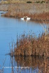 Swan Love (lauren3838 photography) Tags: laurensphotography lauren3838photography jerseyshore newjersey nj capemay swans nature ilovenature nikon d700 birds